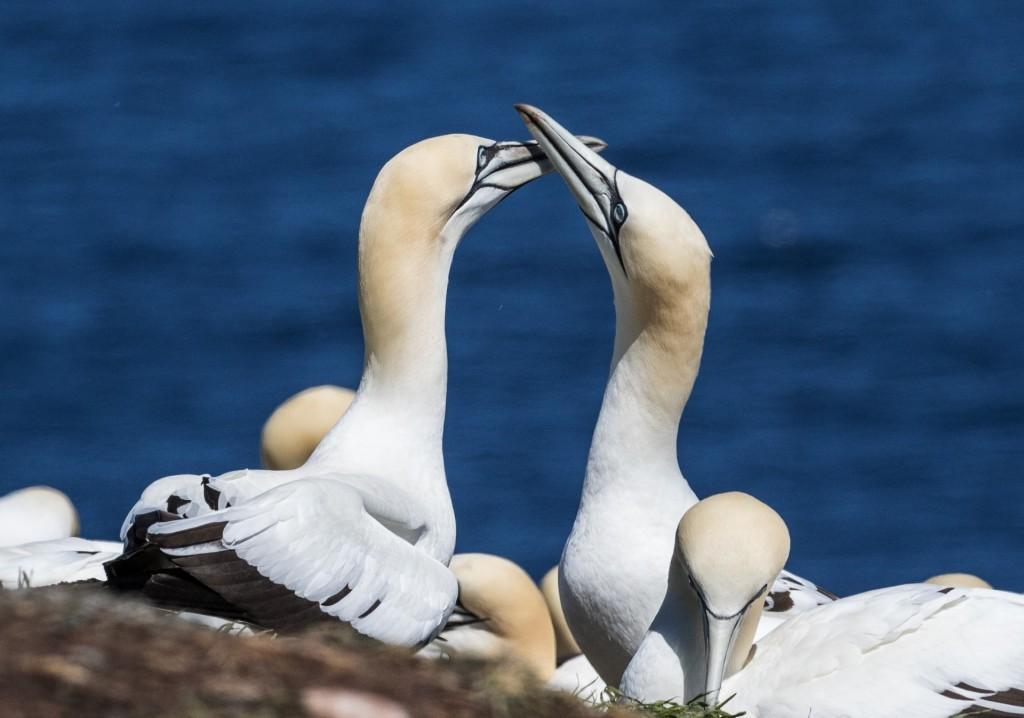 Des fous de Bassan s'embrassent, à l'Île Bonaventure.