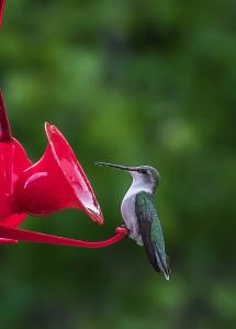 Un colibri à gorge rubis mâle.